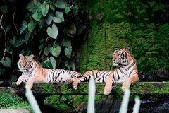 Two bengal Tiger in forest Thailand. Two bengal Tiger in forest show head and leg stock image