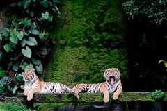 Two bengal Tiger in forest Thailand. Two bengal Tiger in forest show head and leg stock photo