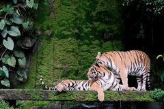 Two bengal Tiger in forest Thailand. Two bengal Tiger in forest show head and leg stock photos
