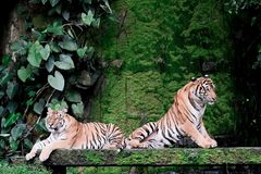 Two bengal Tiger in forest at Thailand. Two bengal Tiger on stone in forest show head and leg at Thailand stock photos