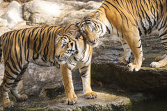 Free Two Bengal Tigers Royalty Free Stock Photo - 68179295
