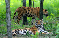 Two Bengal tigers Stock Photo