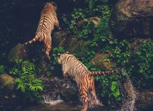 Two Bengal Tigers Playing Royalty Free Stock Images