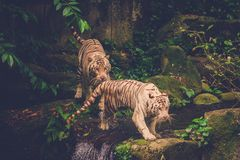 Two Bengal Tigers Playing Stock Photography