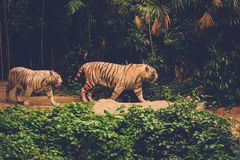 Two Bengal Tigers Playing in a jungle Royalty Free Stock Photo