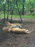 Two Bengal Tigers playing together under a small tree in the forest stock photography
