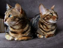 Bengal cat: Two bengals cats sitting next to each other looking opposite sides Royalty Free Stock Image