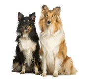 Two Berger Shetland, sitting next to each other Royalty Free Stock Image
