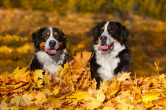 Two Bernese dog outdoor Royalty Free Stock Photos