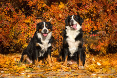 Two Bernese dog outdoor Royalty Free Stock Photo