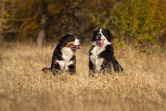 Two bernese dog run Stock Images