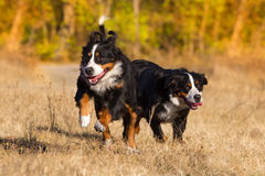 Two bernese dog run Royalty Free Stock Photography