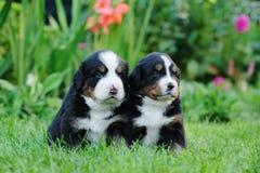 Two Bernese Mountain Dog portrait Stock Photo