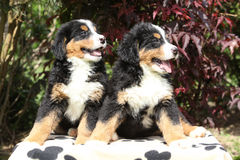 Two Bernese Mountain Dog puppies in the garden Royalty Free Stock Photos