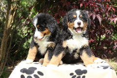 Two Bernese Mountain Dog puppies sitting on blanket Royalty Free Stock Image