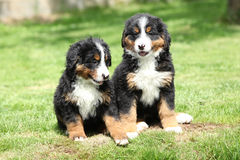 Two Bernese Mountain Dog puppies in the garden Royalty Free Stock Photo