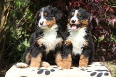 Two Bernese Mountain Dog puppies in front of dark red leaves Stock Photos