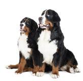 Two Bernese mountain dogs Stock Photos