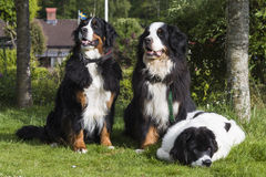 Two Bernese Mountain Dogs and one Landseer ECT. An adult male and one adult female Bernese Mountain Dog together with one 5 months old Landseer European Stock Photography