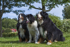Two Bernese Mountain Dogs and one Landseer ECT. An adult male and one adult female Bernese Mountain Dog together with one 5 months old Landseer European Royalty Free Stock Photo