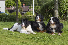 Two Bernese Mountain Dogs and one Landseer ECT. An adult male and one adult female Bernese Mountain Dog together with one 5 months old Landseer European Royalty Free Stock Photos