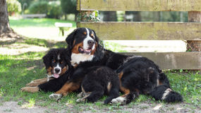 Two Bernese mountain dogs Royalty Free Stock Images