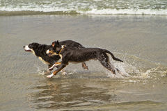 Two Bernese Mountain Dogs Running in the Ocean Stock Photo