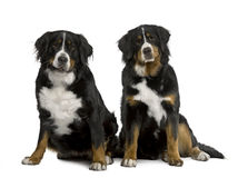 Two Bernese mountain dogs sitting Stock Image