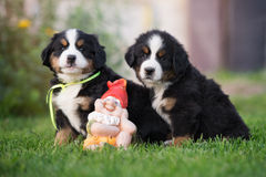 Two bernese mountain puppies outdoors Royalty Free Stock Photography