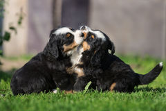 Two bernese mountain puppies playing outdoors Royalty Free Stock Image