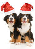 Two bernese sennenhund puppies Royalty Free Stock Image