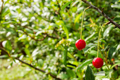 Two berries of ripe cherry on a branch on the green background. Royalty Free Stock Photo