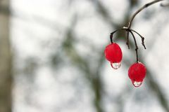 Two berries of viburnum with frozen drops of water. Winter tricks. Frozen water droplets hanging from berries of viburnum. Unharvested viburnum. Winter Stock Image
