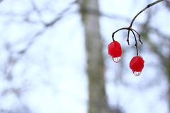 Two berries of viburnum with frozen drops of water. Winter tricks. Frozen water droplets hanging from berries of viburnum. Unharvested viburnum. Winter Royalty Free Stock Images