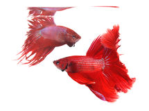 Two betta fishes, siamese fighting fish Royalty Free Stock Photos