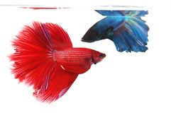 Two betta fishes, siamese fighting fish Stock Photography