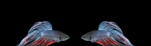 Two Bettas. Mirrored betta (siamese fighting fish) on black background stock images