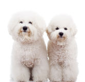 Two bichon frise puppy dogs standing. And looking at the camera on white background Stock Images