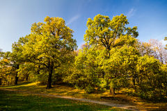 Two big autumn oaks with yellow leaves Stock Photos