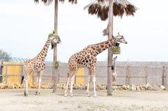 Two big beautiful giraffe eating grass royalty free stock photos