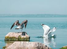 Two big birds gary and white seagulls. The birds spreading wings. Gray gull drove white seagull out of the stone. Sunny summer day. Ukraine, Kakhovka Reservoir stock image