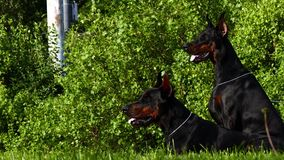 Two big black dogs outdoors