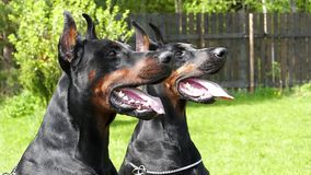Two Big black dogs outdoors. Two Big black doberman dogs in the garden stock video