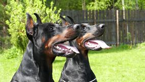 Two Big black dogs outdoors. Two Big black doberman dogs in the garden stock video footage