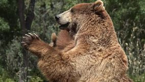 Two Big Brown Bears. Wild Life Animals in Nature stock video footage