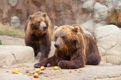 Two big brown Kamchatka bears Royalty Free Stock Photo