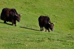 Two big buffalo bulls in its natural enviroment. Running throuhg the meadow stock photos