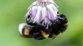 Two big bumblebee sleep on a flower. Two big bumblebee sleep on a flower stock video