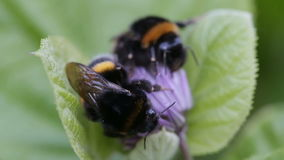 Two big bumblebee sleep on a flower. Two big bumblebee sleep on a flower stock video footage