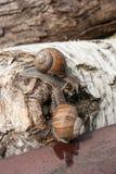 Two big Burgundy snails Helix, Roman snail, edible snail, escar. Roman Snail - Helix pomatia. Helix pomatia, common names the Roman, Burgundy, Edible snail or Stock Photos